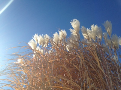 Winter Wheat?  Not Gluten Free but really pretty against those Colorado Bluebird skies!